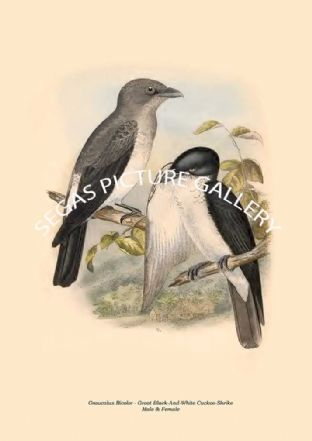 Graucalus Bicolor - Great Black-And-White Cuckoo-Shrike